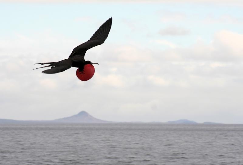 Pragtfregatfugl, Galápagos, juli 2006. Foto: Jørgen Peter Kjeldsen.