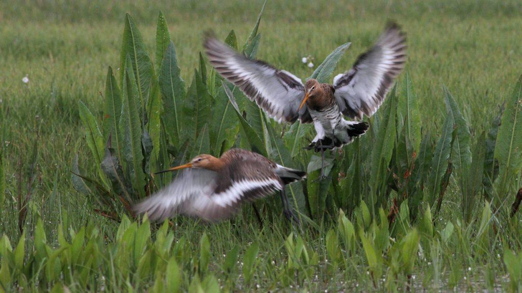 To hanner af Stor Kobbersneppe jager hinanden. Vesløs Vejle, maj 2014. Foto: Jørgen Peter Kjeldsen/ornit.dk.