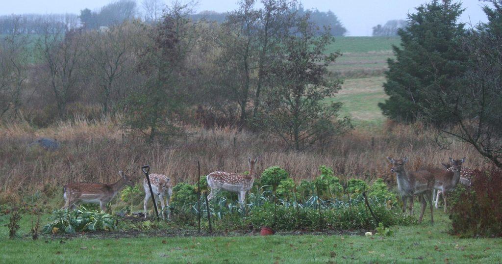 Dådyr, Tømmerby, november 2009. Foto: Jørgen Peter Kjeldsen/ornit.dk.