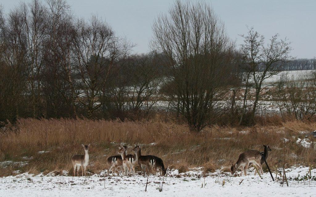 Dådyr, Tømmerby, december 2009. Foto: Jørgen Peter Kjeldsen/ornit.dk.