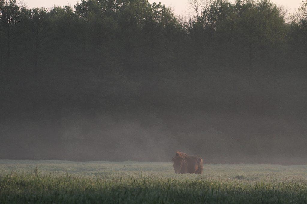 Europæisk bison, Bialowieza, Polen, maj 2011. Foto: Jørgen Peter Kjeldsen/ornit.dk.