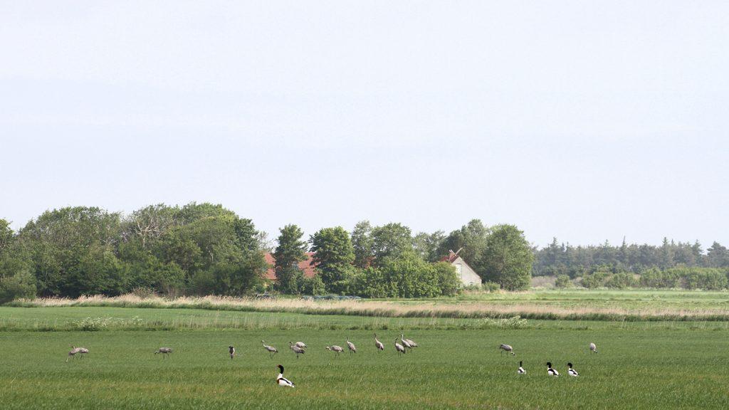 Traner og Gravænder, Thorup Fjordholme, juni 2011. Foto: Jørgen Peter Kjeldsen/ornit.dk.