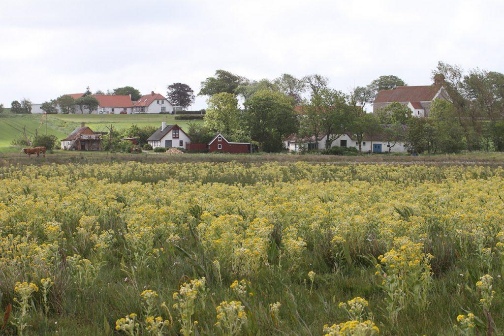Kærfnokurt, Vesløs Vejle, juni 2012. Foto: Jørgen Peter Kjeldsen/ornit.dk.