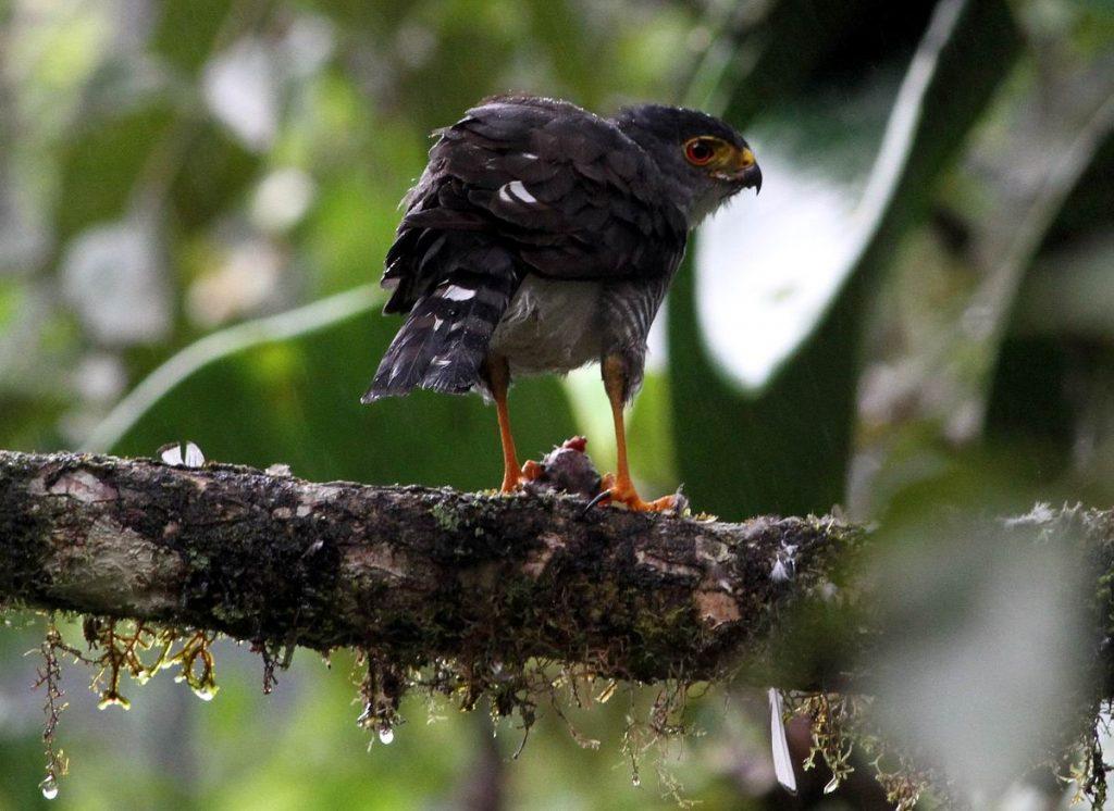 Tiny Hawk, Maquipucuna, Ecuador, november 2010. Foto: Jørgen Peter Kjeldsen/ornit.dk.