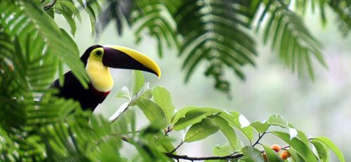 Chestnut-mandibled Toucan, Costa Rica, marts 2006. Foto: Jørgen Peter Kjeldsen.