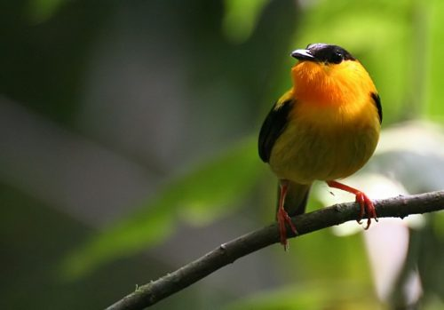 Orange-collared Manakin, Costa Rica, marts 2006. Foto: Jørgen Peter Kjeldsen.