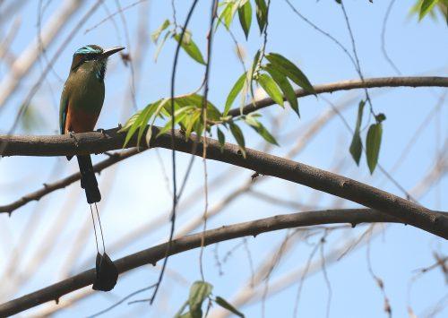 Turquoise-browed Motmot, Nicaragua, marts 2007. Foto: Jørgen Peter Kjeldsen/ornit.dk.