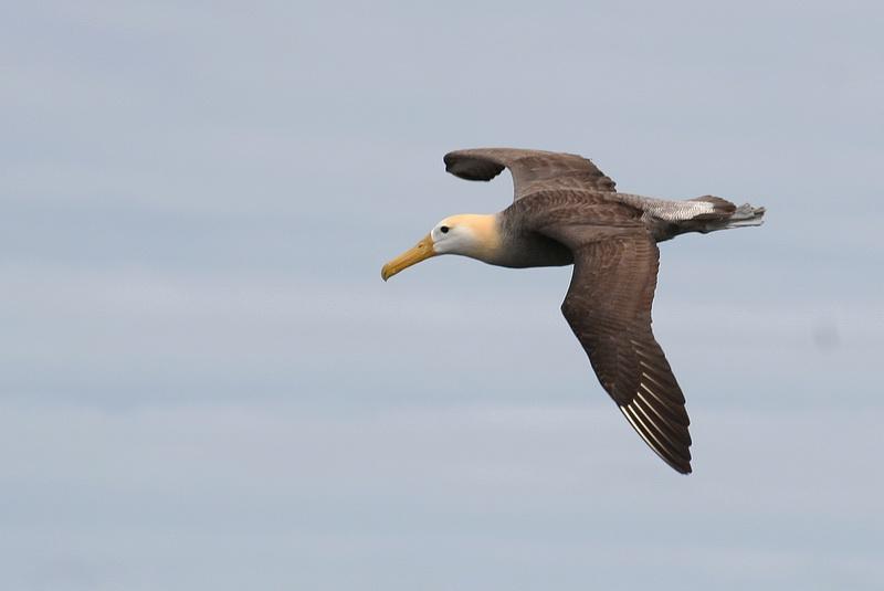 Waved Albatross, Isla Española, Galápagos, juli 2006. Foto: Jørgen Peter Kjeldsen.