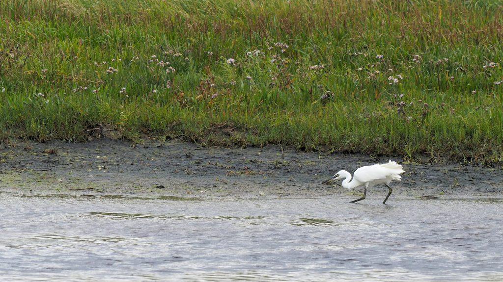 """Silkehejre, Pytodde, august 2017. Foto: Jørgen Peter Kjeldsen/<a href=""""http://www.ornit.dk/"""">ornit.dk</a>."""