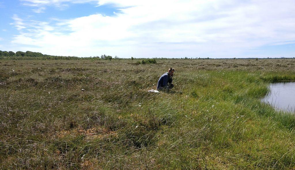 Der botaniseres på højmosen - her vokser der Blomstersiv. Tofte Skov i baggrunden til venstre. Foto: Jørgen Peter Kjeldsen/ornit.dk.