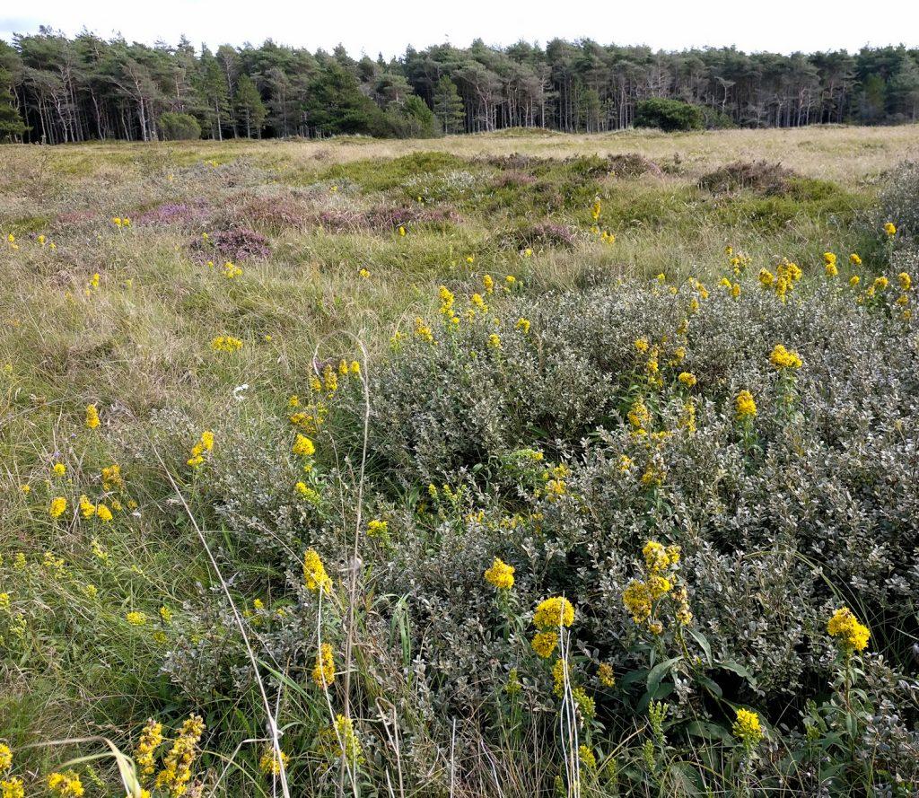 Gyldenris og andre planter på heden, Lild Klitplantage, august 2018. Foto: Jørgen Peter Kjeldsen/ornit.dk.