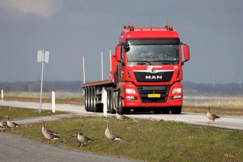 En lastbil bremser ned for at undgå at påkøre gæssene. Grågås, Bygholmdæmningen ved Vestsøen, maj 2019. Foto: Jørgen Peter Kjeldsen/ornit.dk.