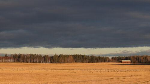 Del af en flok på 5650 Sædgæs, Ålsta ved Sannahed, oktober 2019. Foto: Jørgen Peter Kjeldsen/ornit.dk.