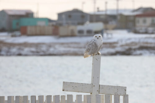 "Sneugle, Barrow, Alaska, oktober 2019. Foto: Jørgen Peter Kjeldsen/<a href=""http://ornit.dk/"">ornit.dk</a>."