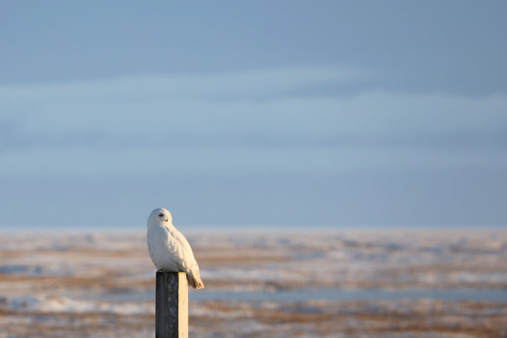 "Sneugle han, Barrow, Alaska, oktober 2019. Foto: Jørgen Peter Kjeldsen/<a href=""http://ornit.dk/"">ornit.dk</a>."