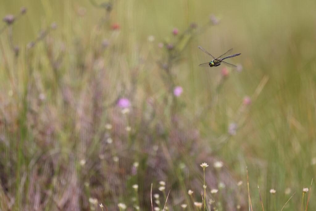"Arktisk Smaragdlibel, Rold Skov, juli 2021. Foto: Jørgen Peter Kjeldsen/<a href=""http://ornit.dk/"">ornit.dk</a>."